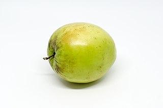 <i>Ziziphus mauritiana</i> species of plant