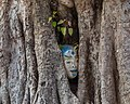Ingrown oval sculpture of human head in a tree trunk in Laos (2).jpg