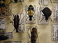 Insect Safari - beetle 34A.jpg