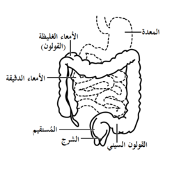 Front of abdomen, showing the large intestine, with the stomach and small intestine in dashed outline.