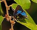 Iraota timoleon arsaces – Silverstreak Blue (2.jpg