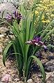 Iris graminea 2.jpg