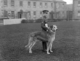 Irish wolfhound - Member of the Irish Guards, pictured at Waterford Barracks with the regiment's mascot, an Irish Wolfhound named Leitrim Boy.