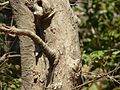 Ivory tree (3272433568).jpg