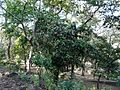 Ixora brachiata (3156020788).jpg
