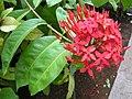 Ixora chinensis 1.jpg