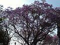 Jacaranda en primavera - large.jpg