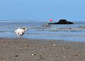 Jack Russell Terrier Eddi Chasing a Ball.JPG