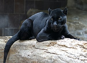 Black panther - A melanistic jaguar at the Henry Doorly Zoo. Melanism is the result of a dominant allele and is relatively common in jaguars.