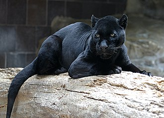Black panther - Image: Jaguar