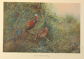 Javan Junglefowl by George Edward Lodge.png