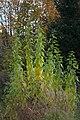 Jerusalem artichoke (Helianthus tuberosus) plant Moscow region Russia 2020 Oct 17.jpg