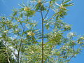 JfSesbaniagrandiflora186Palinglangfvf.JPG