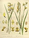 Joseph Dalton Hooker - Flora Antarctica - vol. 3 pt. 2 plate 104 (1860).jpg