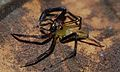 Jumping Spider (Salticidae) (8728154819).jpg