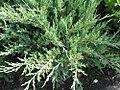 Juniperus chinensis Hetzii Glauca 0zz.jpg