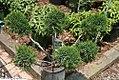 Juniperus chinensis Monlep 2zz.jpg