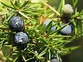 Juniperus communis, Spomenik prirode Slapovi Sopotnice, Srbija (52).jpg