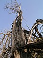 Juniperus hendido.jpg