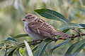 Juvenile House Sparrow (passer domesticus) (9349038182).jpg