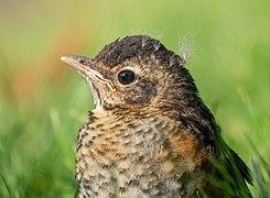 Juvenile robin (12336).jpg