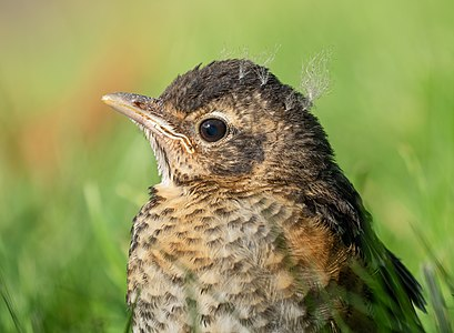Portrait of a fledgling American robin