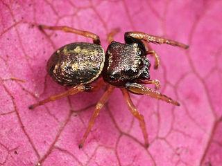 <i>Zygoballus sexpunctatus</i> species of arachnid