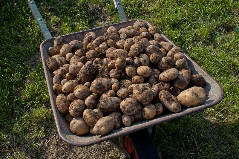 File:Kartoffelernte V.jpg