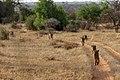 Kenya, Safari (32244334578).jpg