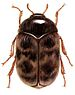 Khapra Beetle - Photo USDA employee, no known copyright restrictions (public domain)