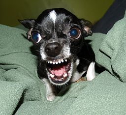 http://upload.wikimedia.org/wikipedia/commons/thumb/f/fc/Killer_Chihuahua.jpg/256px-Killer_Chihuahua.jpg