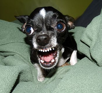English: A Chihuahua protecting its bone. Phot...