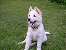 Kintamani dog white.jpg