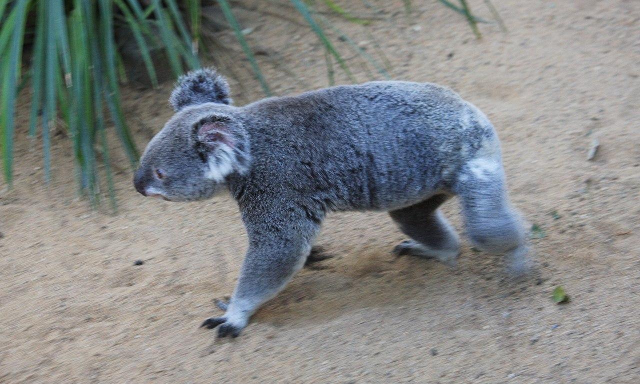 File:Koala at the Lone...