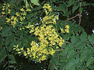 <i>Koelreuteria paniculata</i> species of plant