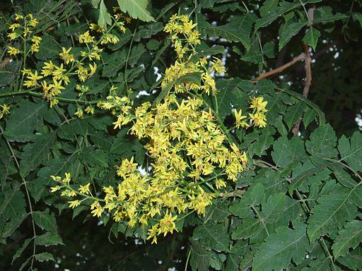 fleurs du savonnier de chine