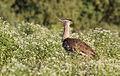 Kori bustard, Ardeotis kori, at Mapungubwe National Park, Limpopo, South Africa (18106311976).jpg