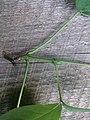 Korina 2015-09-01 Staphylea pinnata 7.jpg
