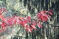 Korina 2015-10-10 Quercus rubra 9.jpg