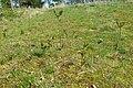 Korina 2017-04-02 Syringa vulgaris.jpg
