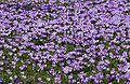 Krokusblüte in Drebach..IMG 0850WI.jpg