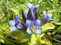 Kruisbladgentiaan-bloem2-kl.jpg