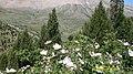 Kuşburnu çiçeği,ardıç ağaçları ve FINDIOLUKTAN KEPEZ - panoramio.jpg