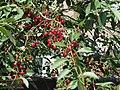 Kulykivka IMG 4594 05 Cherries.jpg