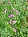 Kwiat kukułki 02.jpg