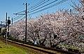 Kyoto, 桜, sakura, Cherry blossoms 2015 - panoramio.jpg