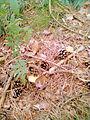 LSG L2a1 (Neukloster-Warin-Blankenberg) Wald bei Warin - Pfifferlinge.jpg