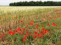 La Malmaison (Aisne) coquelicots au long d'un champ de blé.JPG