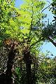 La Palma - Breña Alta - Calle la Cuesta - Maroparque - Woodwardia radicans 02 ies.jpg