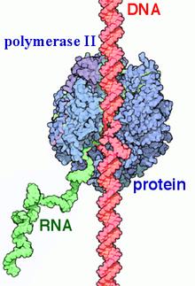 Rna Polymerase Ii Wikipedia
